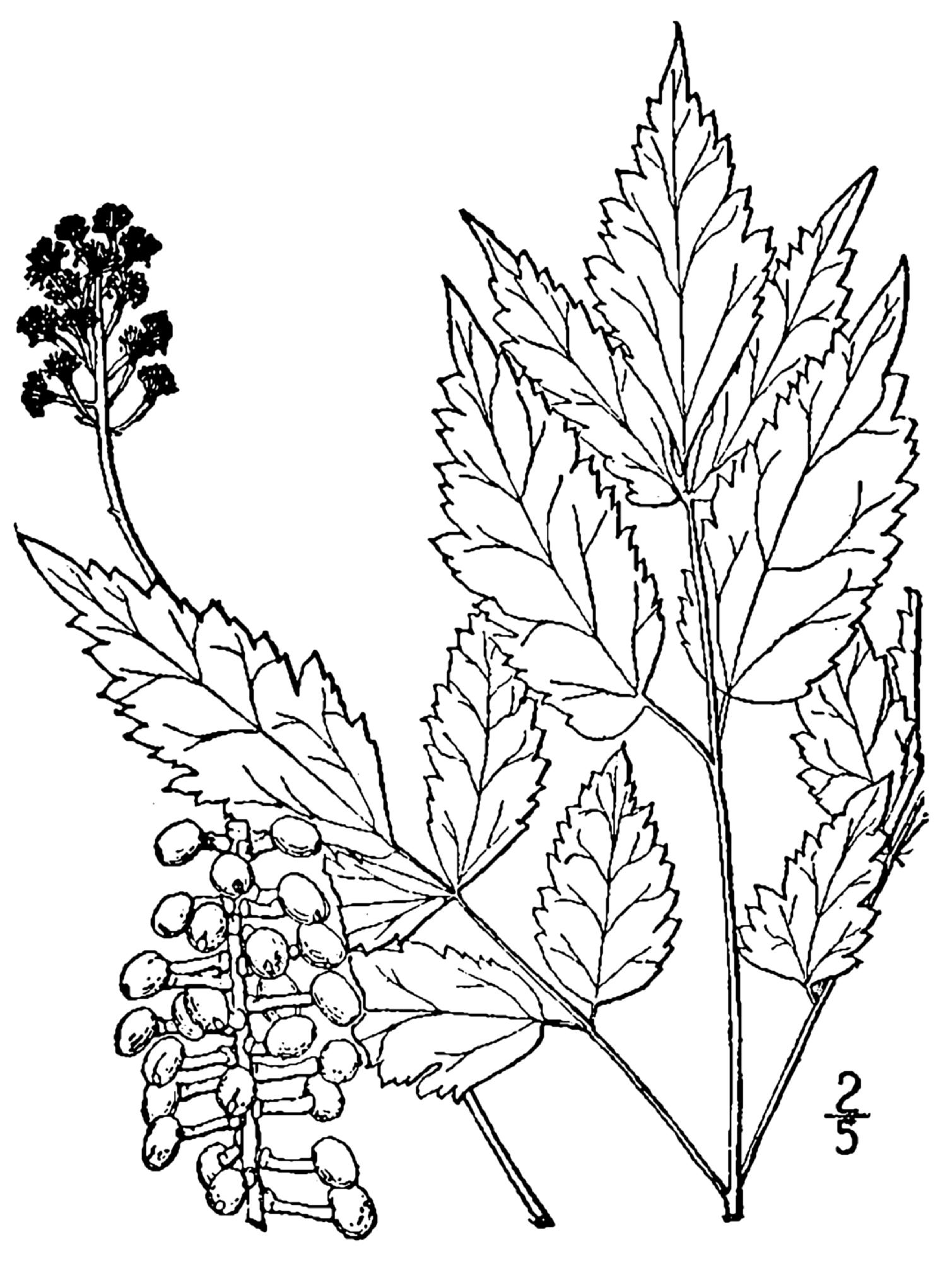 1509x2000 Fileactaea Pachypoda Drawing.png