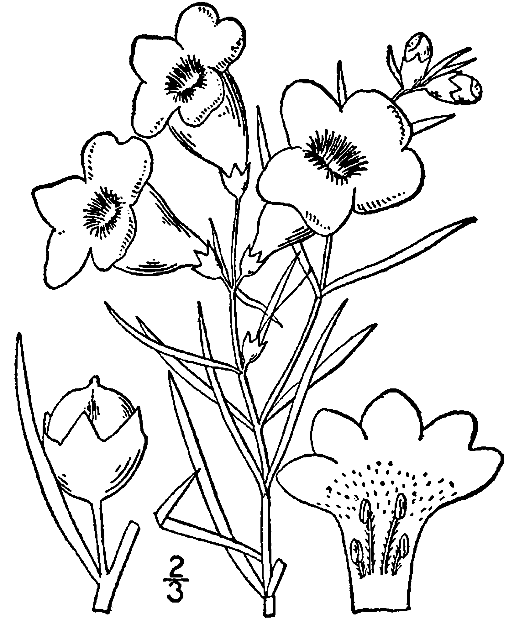 1624x2000 Fileagalinis Purpurea Drawing.png