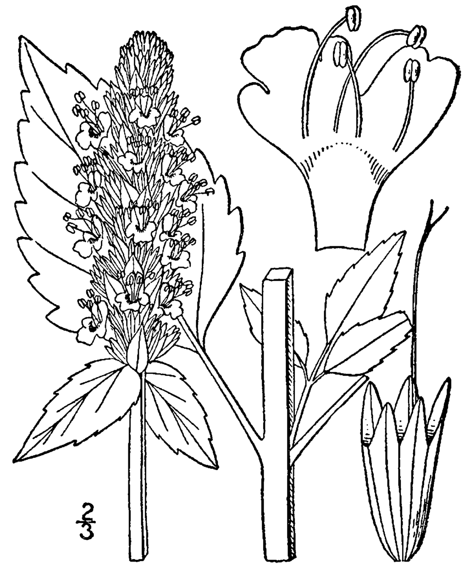 1633x2000 Fileagastache Nepetoides Drawing.png