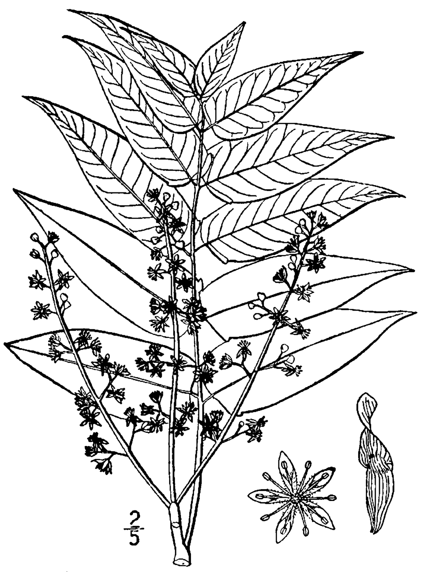 1486x2000 Fileailanthus Altissima Drawing.png