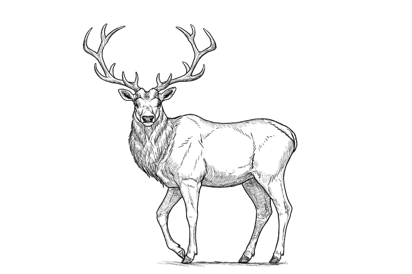 850x566 How To Draw A Deer Step By Step