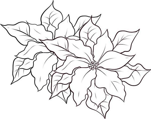 600x472 Coloring Pages Poinsettia