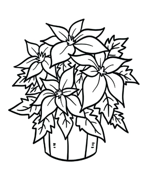 600x754 Poinsettia Coloring Sheet Drawing Of Poinsettia Coloring Page