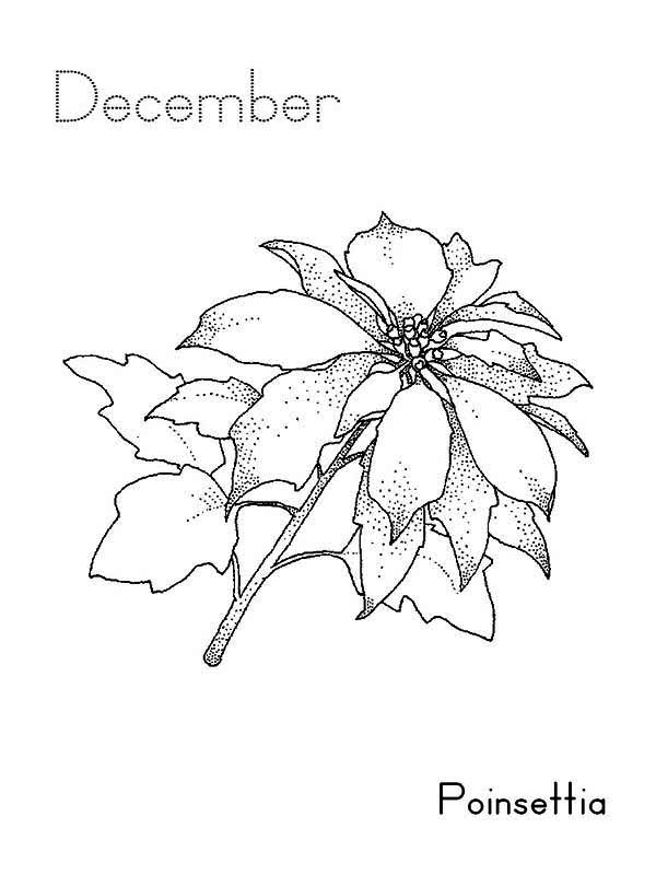 600x800 Poinsettia Flower On December Coloring Page