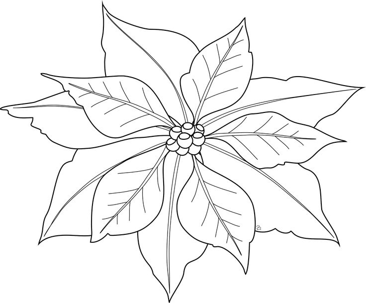 736x609 76 Best Poinsettia Images On Poinsettia Flower