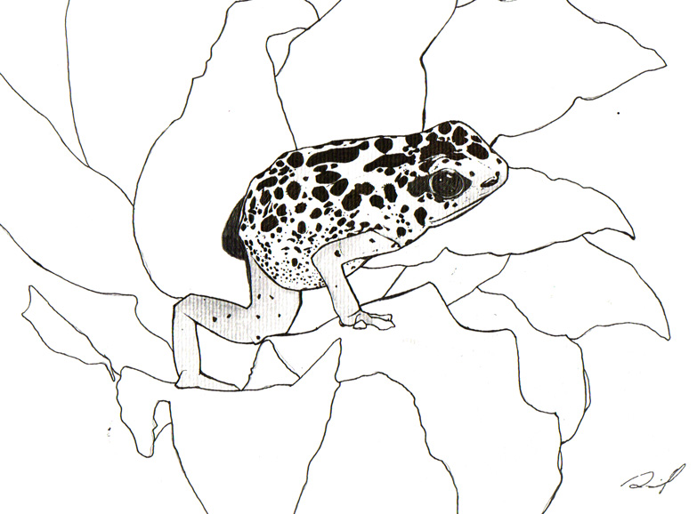 783x578 Poison Dart Frog By Aaronfrick