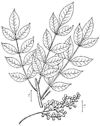 400x504 Poison Sumac Poison Ivy Oak Understand Poison Ivy