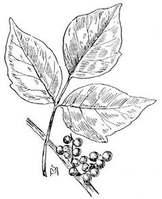236x289 Poison Ivy Plant Facts Poison Ivy Plant Drawing Poison Ivy Plant