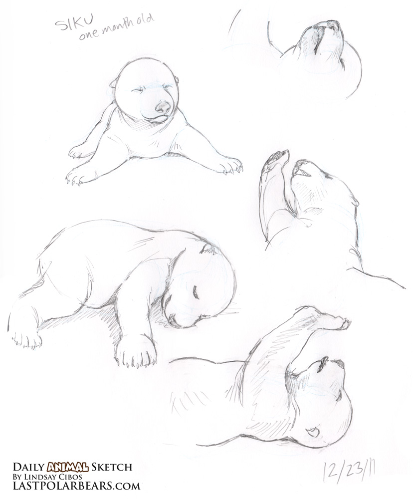 828x1000 Daily Animal Sketch Baby Polar Bear Siku Last Of The Polar Bears