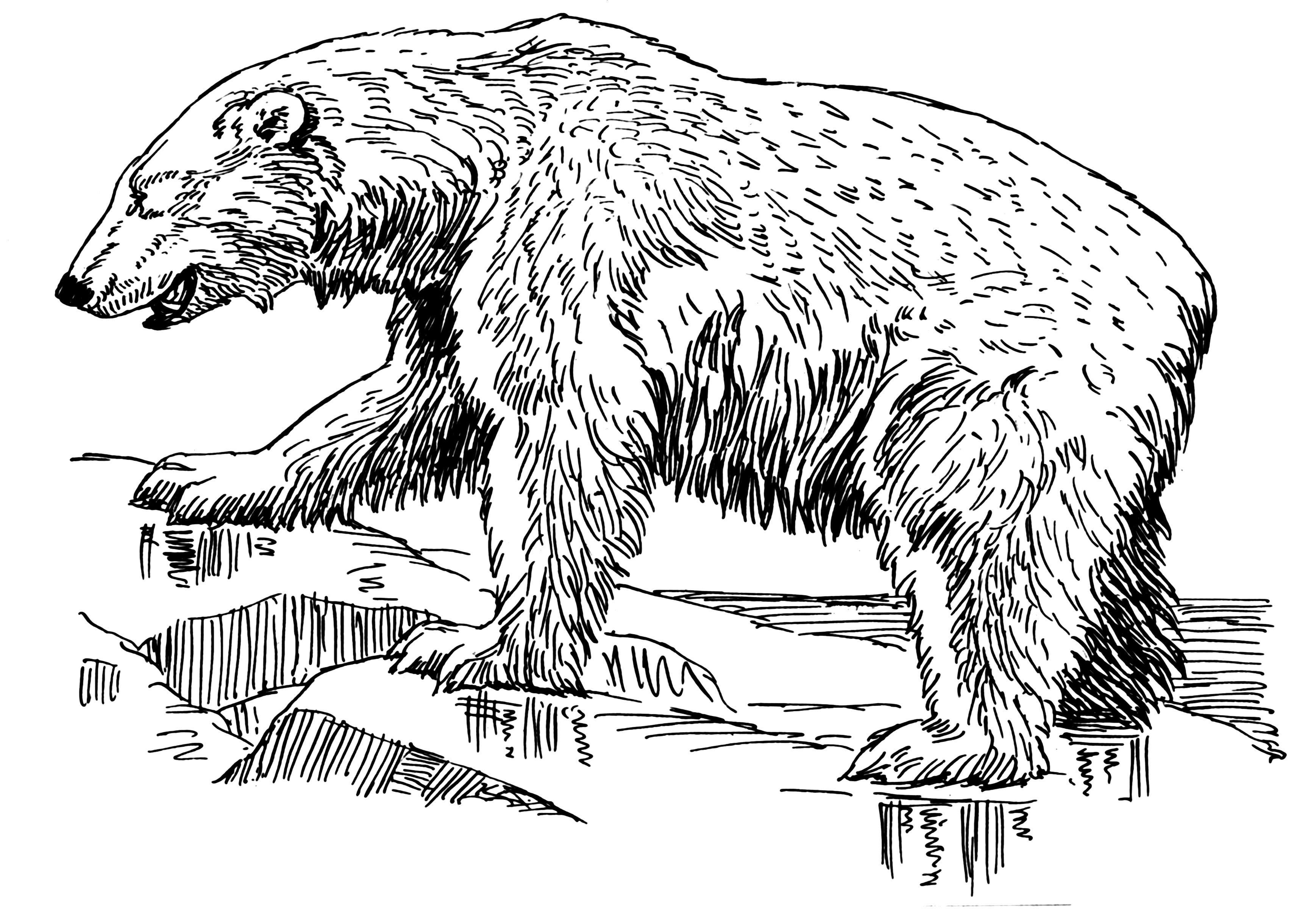 3475x2400 Filepolar Bear 2 (Psf).png