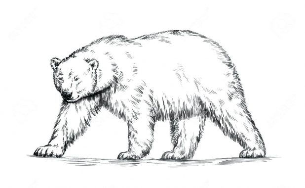 618x380 Coloring Pages Astonishing Polar Bear Outline Drawing. Coloring