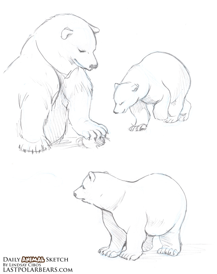 752x950 Daily Animal Sketch Polar Bears Last Of The Polar Bears