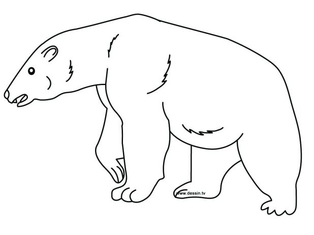 618x464 Polar Bear Outline Drawing Bears Coloring Pages Free Printable