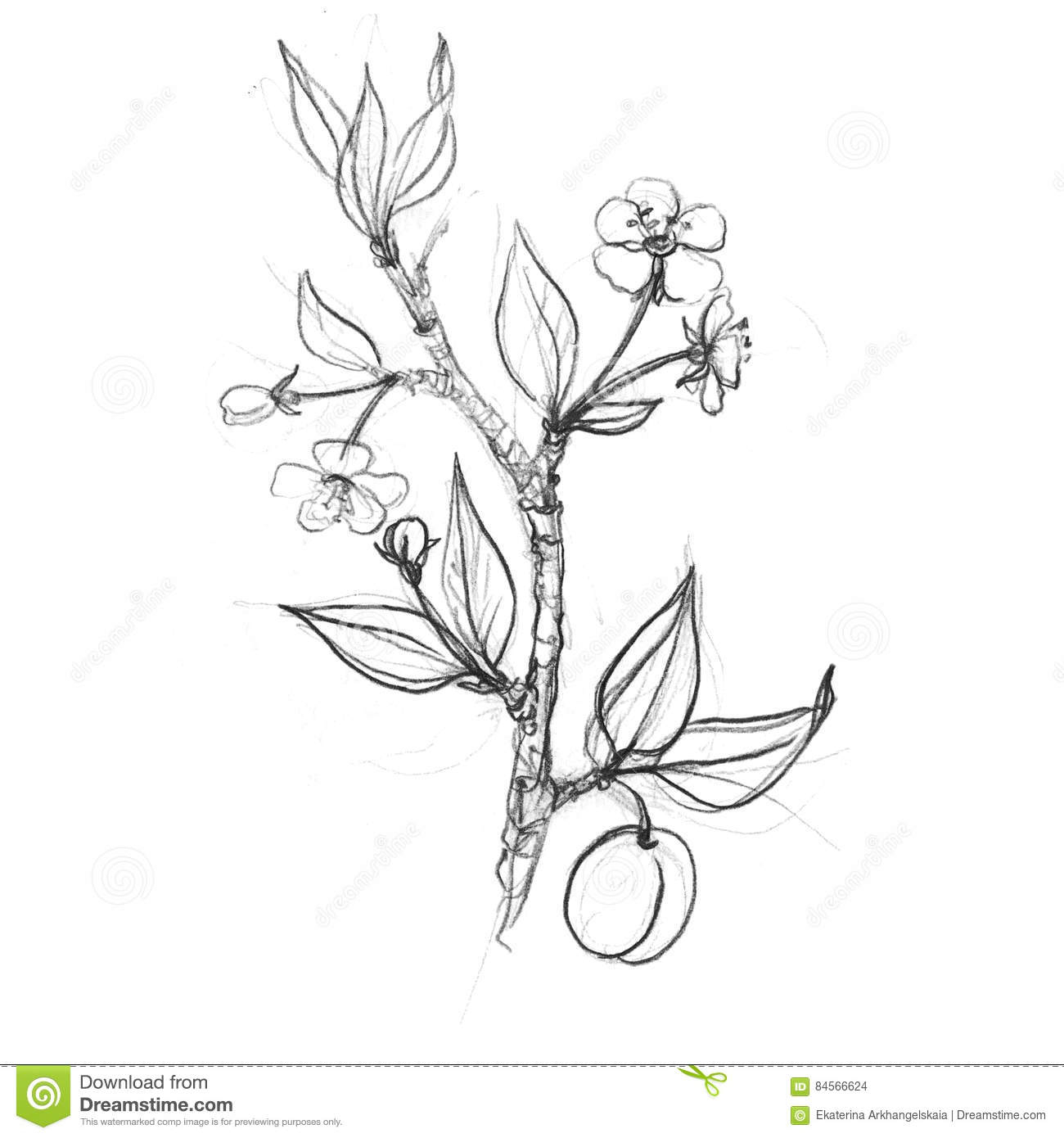 1300x1390 Flower And Fruit Drawing Image Pomegranate Tree Branch Fruit