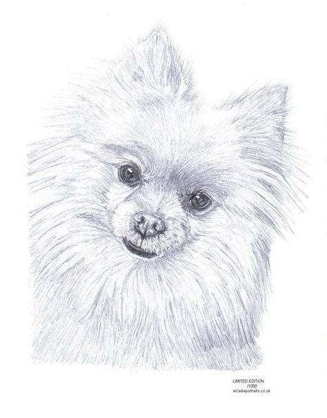 474x606 Pomeranian Dog Pencil Drawing Limited Edition Picture Art Print By