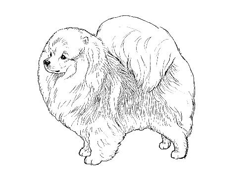 507x376 Breed Standards Pomeranian United Kennel Club (Ukc)