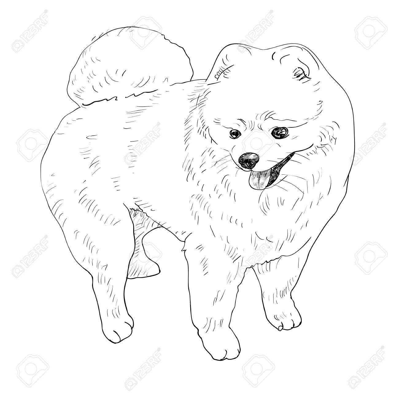1300x1300 Drawing Of Pomeranian After Grooming Royalty Free Cliparts