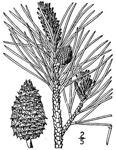Ponderosa Pine Drawing