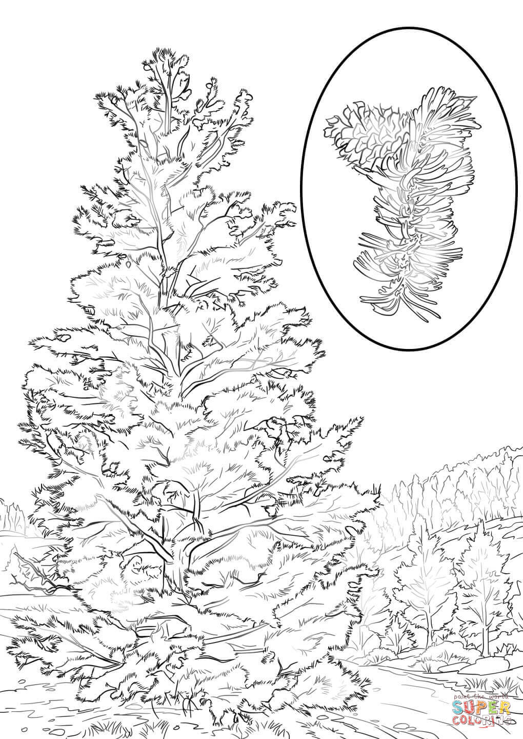 1020x1440 bristlecone pine coloring page free printable coloring pages