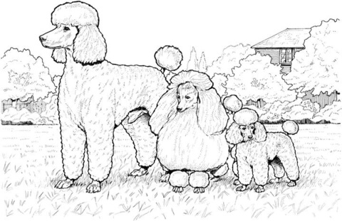 480x311 Standard, Miniature And Toy Poodles Coloring Page Free Printable