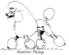 236x188 Standard Poodle Structure Explained Art Fun