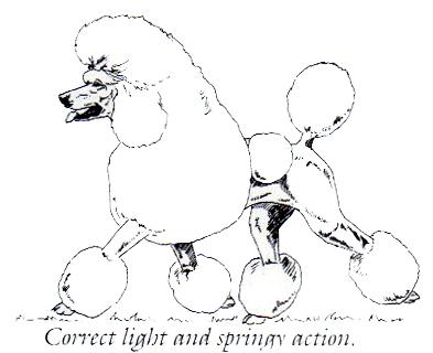 393x320 Standard Poodle Structure Explained Chiens