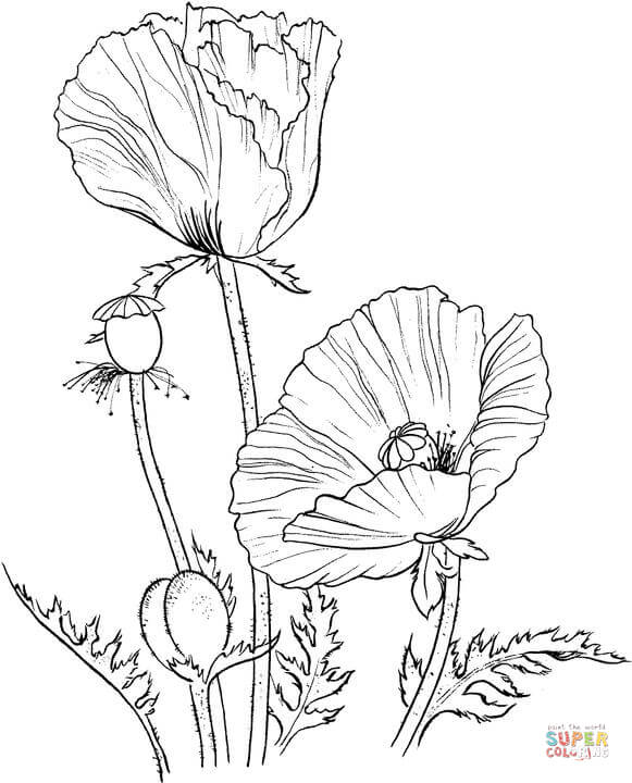 581x720 Golden Poppy Or California Poppy Coloring Page Free Printable