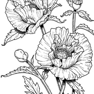Poppies drawing at getdrawings free for personal use poppies 300x300 poppy coloring pages awesome drawing of california poppy mightylinksfo