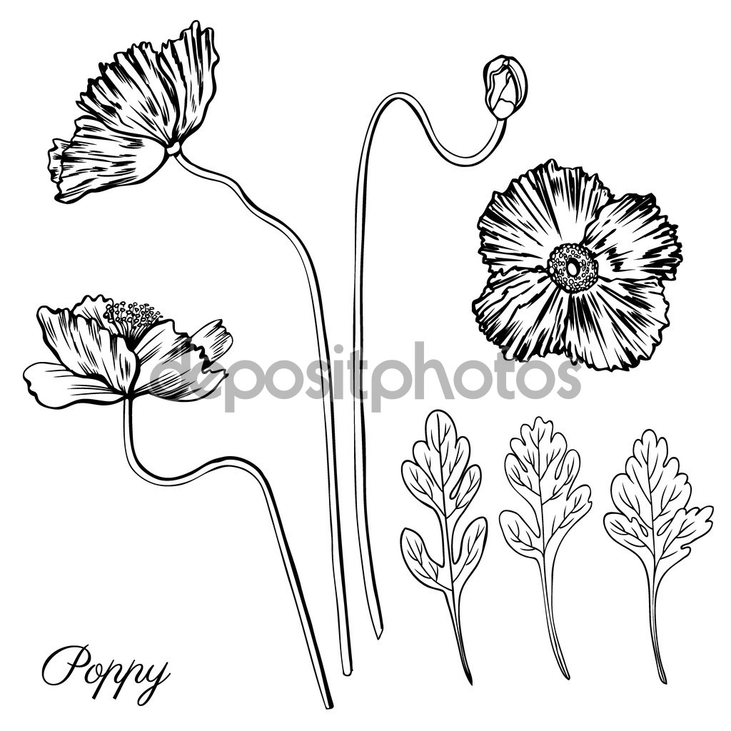 Poppy drawing at getdrawings free for personal use poppy 1024x1024 flower bud drawing poppy flower bud leaves vector engraving mightylinksfo Choice Image