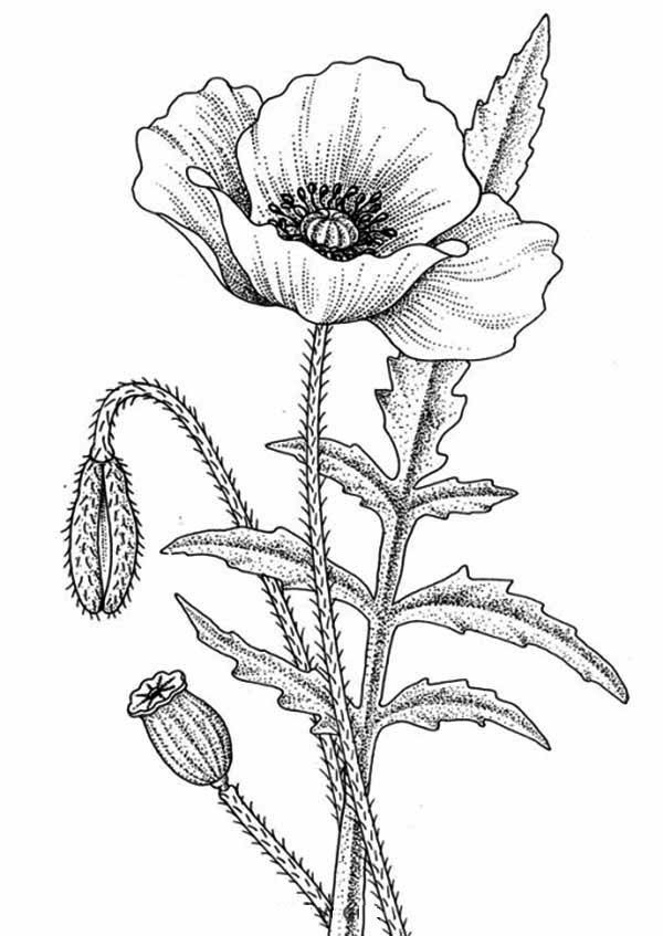 600x847 Awesome Flower Drawing Coloring Page Kids Play Color Poppy
