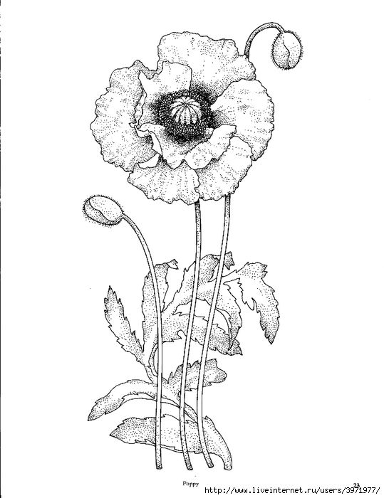 539x700 California Poppy, Awesome Drawing Of California Poppy Coloring