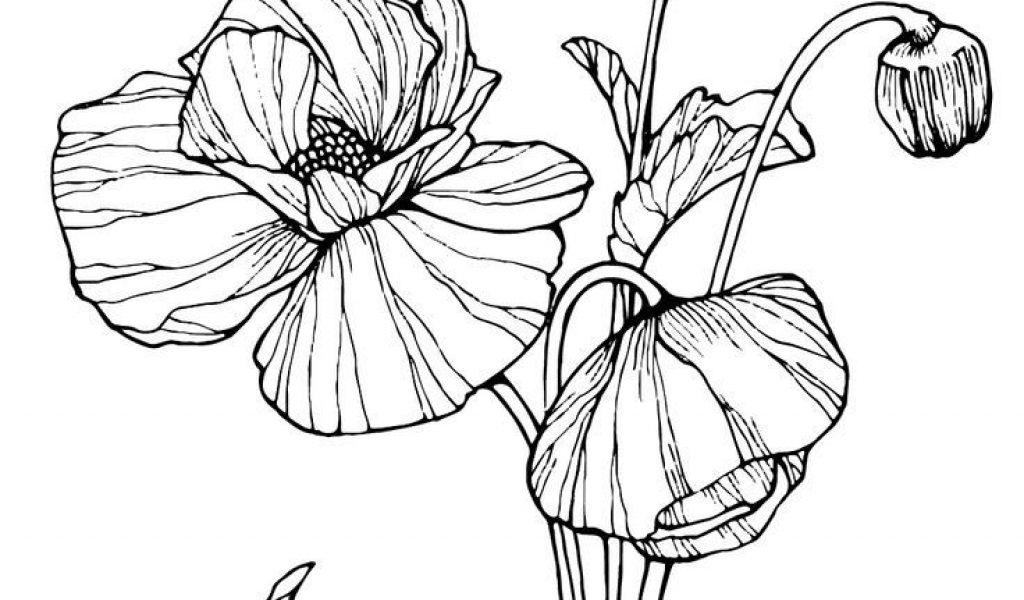 1024x600 Poppy Flower Drawing