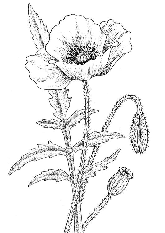 531x750 Coloring Page Poppy