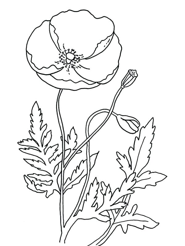 600x799 Poppy Coloring Page Poppy Remembrance Day With Poppy Coloring Page