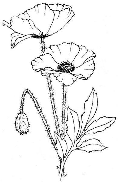 390x600 Beccy's Place Coloring Pages Anzac Poppy, Free
