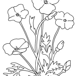 Poppy Flower Drawing At Getdrawings Com Free For Personal Use