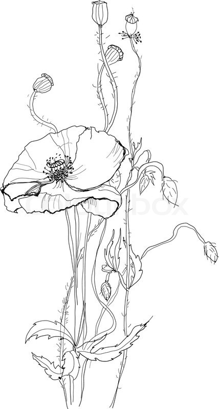 Poppy flower drawing at getdrawings free for personal use 428x800 stock vector of mightylinksfo Image collections