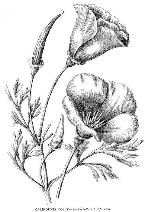 480x700 Poppy Coloring Page Beautiful California Poppy Coloring Pagefull