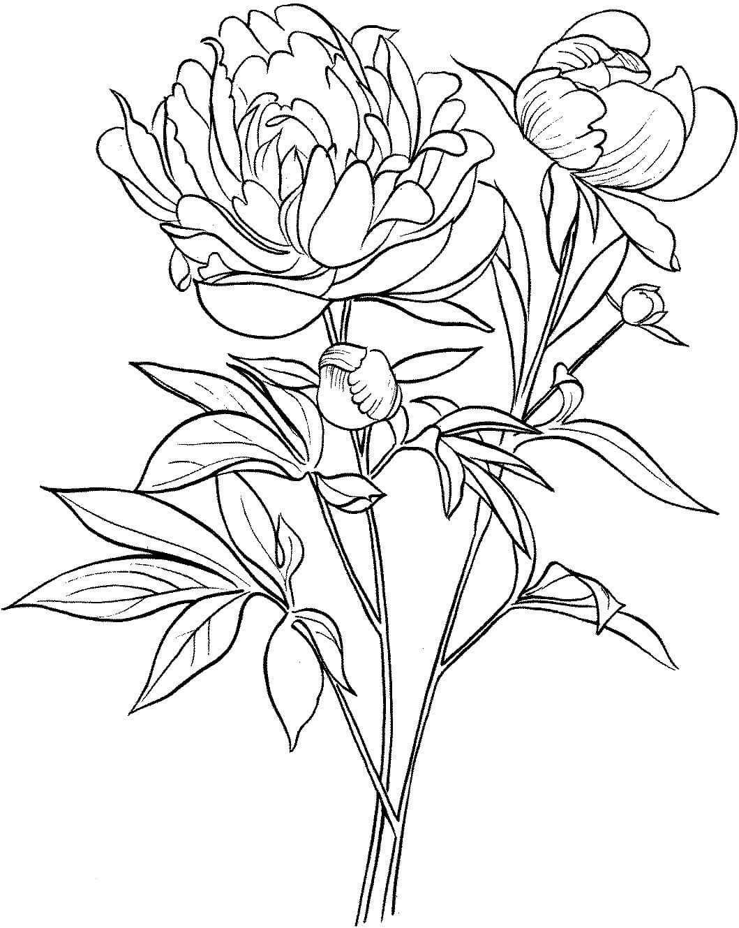 Poppy Flower Scientific Drawing At Getdrawings Free For