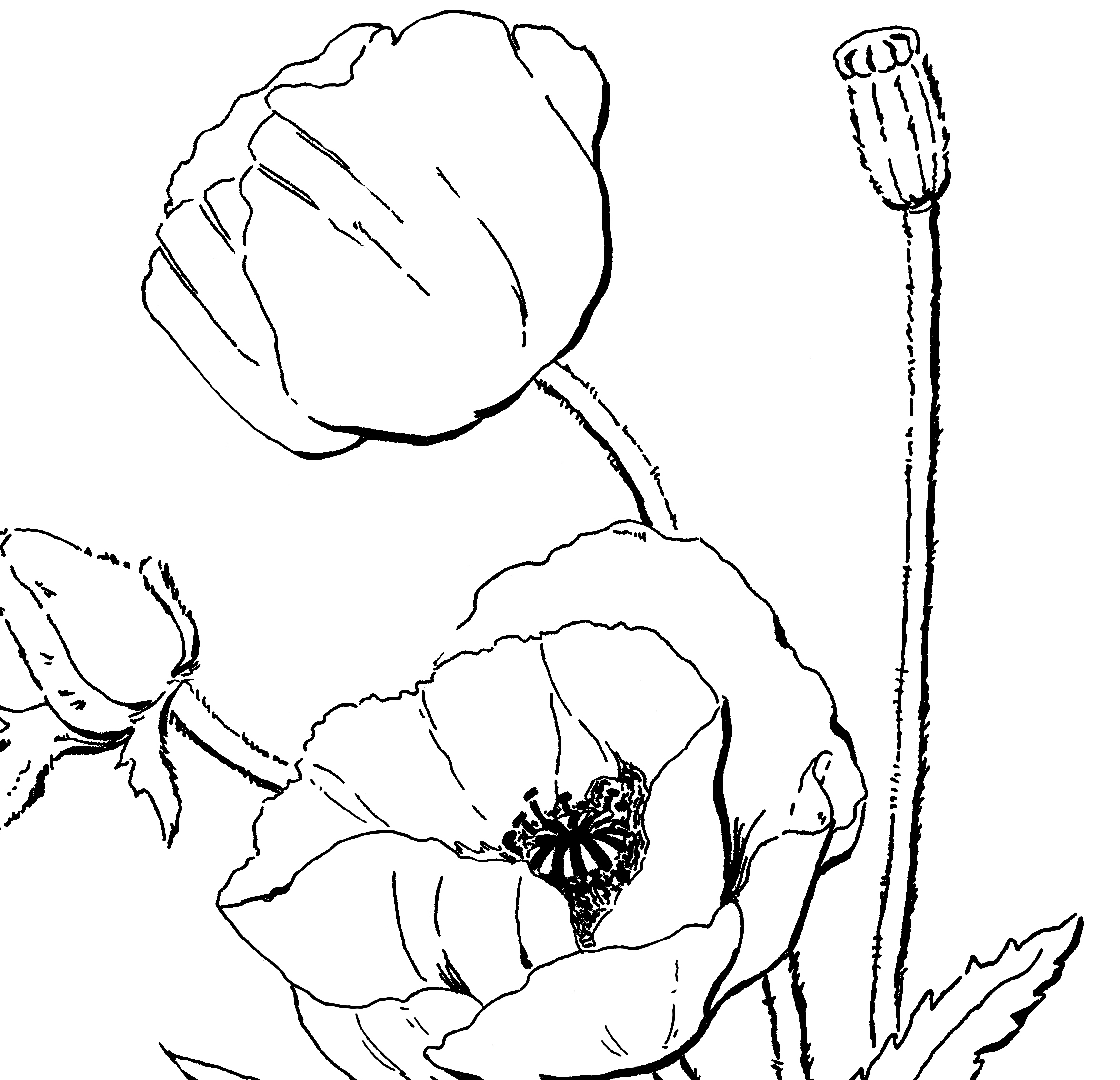 2352x2268 Poppy Coloring Page For Adults!
