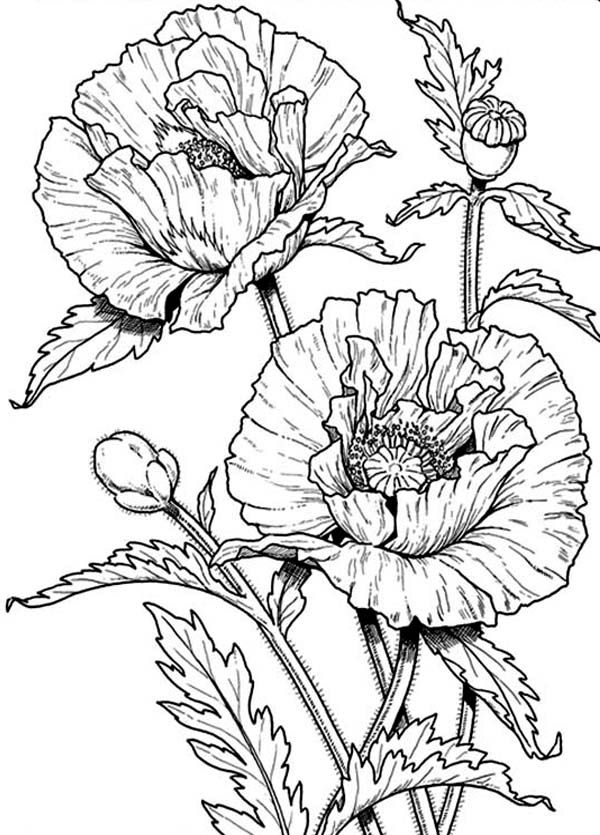 600x835 Poppy Flower Coloring Pages For Adults Printable To Pretty Page