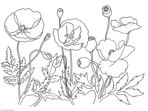 618x464 Adult Pictures Of Poppies To Colour Pictures Of Poppies To Colour