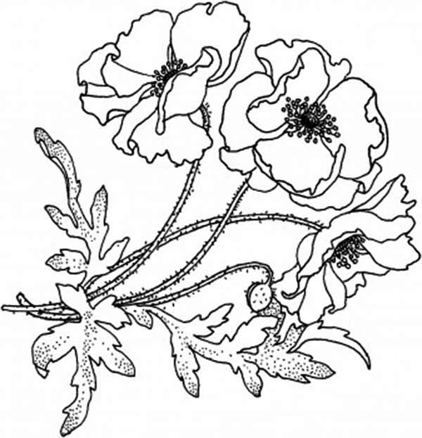 600x623 Blooming Golden Poppy Coloring Page Color Luna