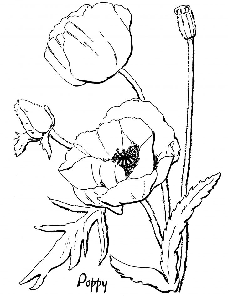 728x942 Poppy Flower Line Drawing