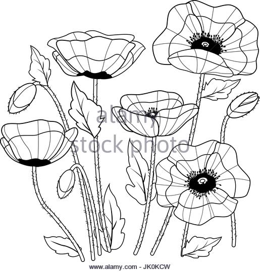 515x540 Poppy Vector Vectors Stock Photos Amp Poppy Vector Vectors Stock