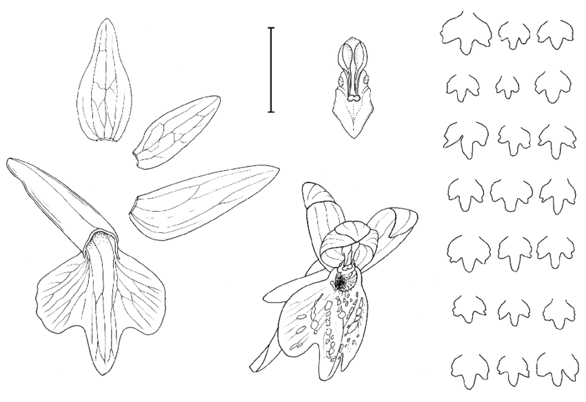 850x583 Dactylorhiza Sibirica, Line Drawing Of The Flowers From The Type