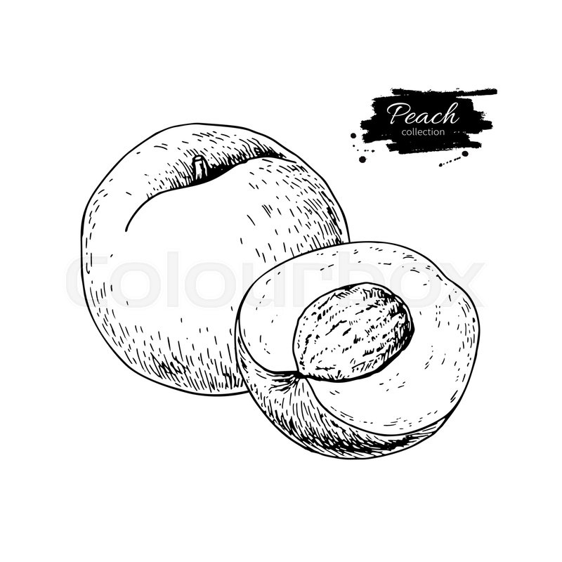800x800 Peach Vector Drawing. Isolated Hand Drawn Peach And Sliced Pieces