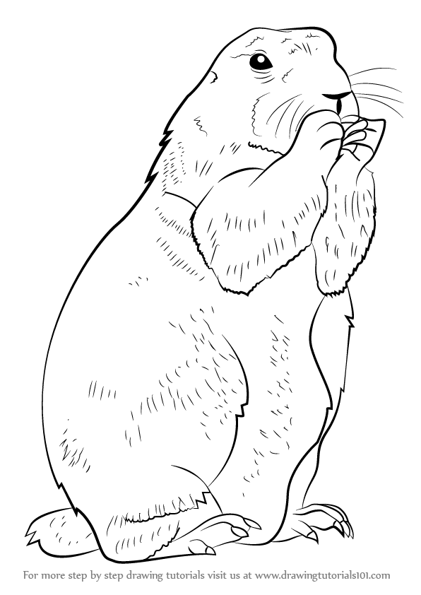 596x842 Learn How To Draw A Prairie Dog (Rodents) Step By Step Drawing