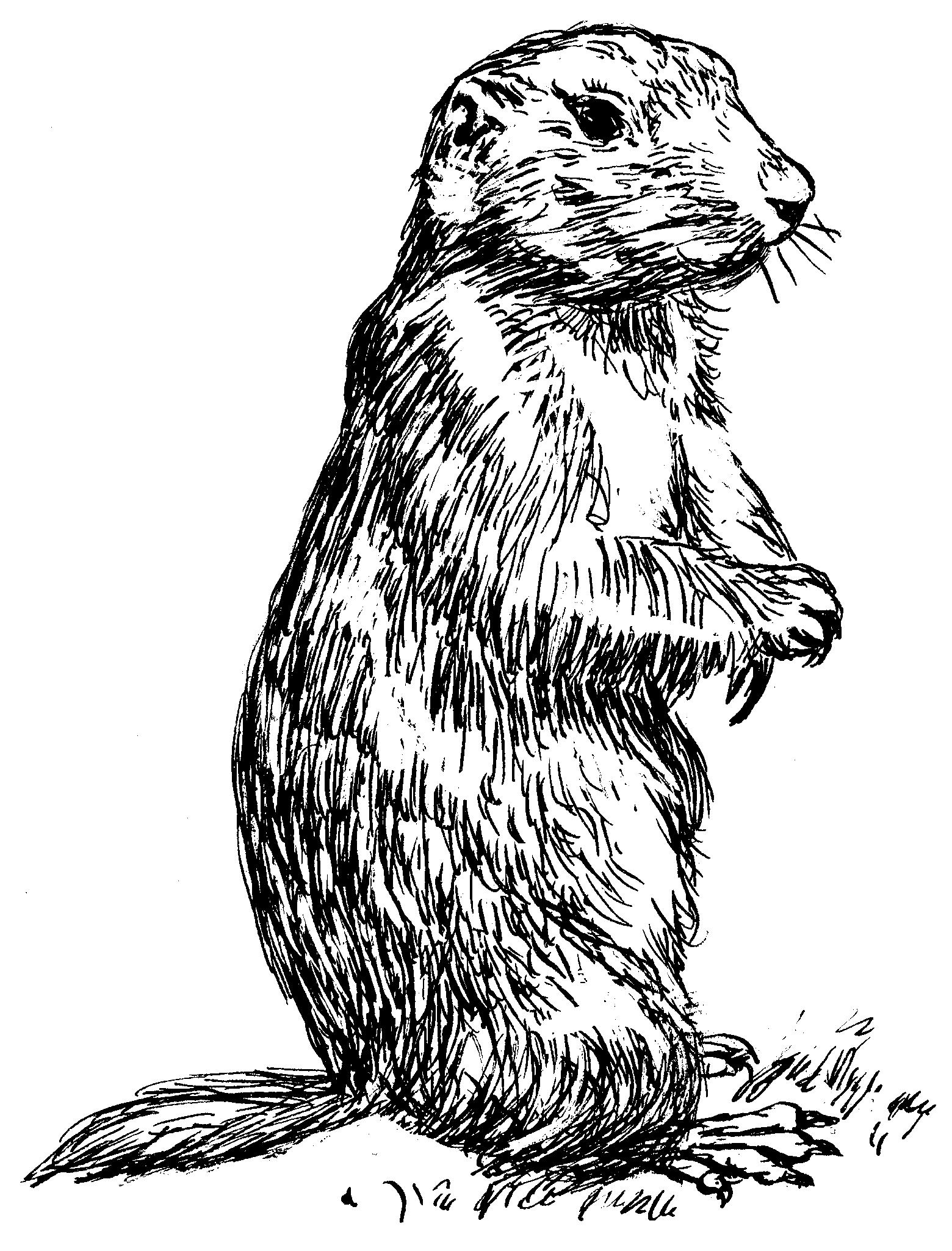 1560x2050 Prairie Dogs Drawing Clipart Panda