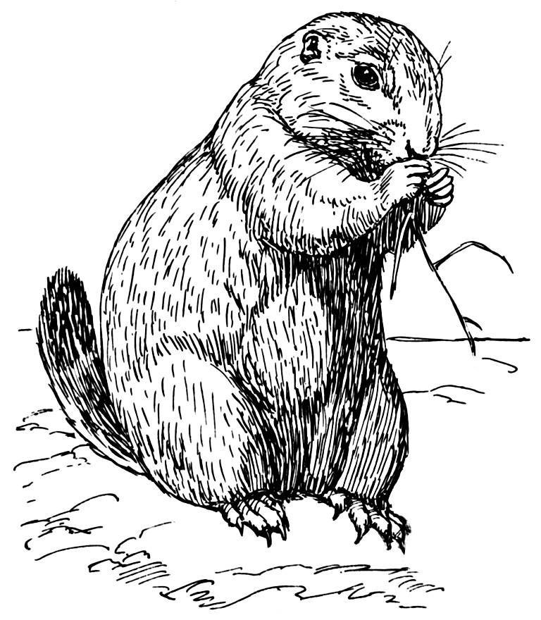 768x880 Coloring Page Prairie Dog